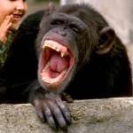 chimp laughing